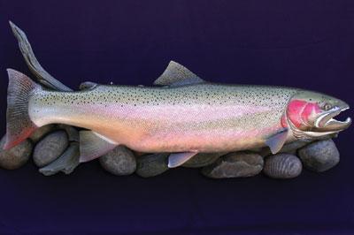 Steelhead Trout (2006) (photographs by Bob & Kim Berry)