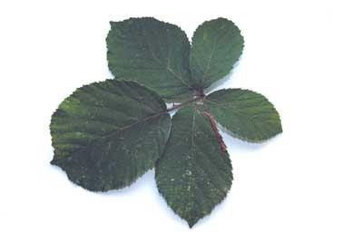 Begin by choosing a few bramble leaves